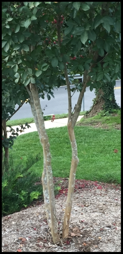 The crepe myrtle shape we want- smooth lower trunk with fringe canopy.
