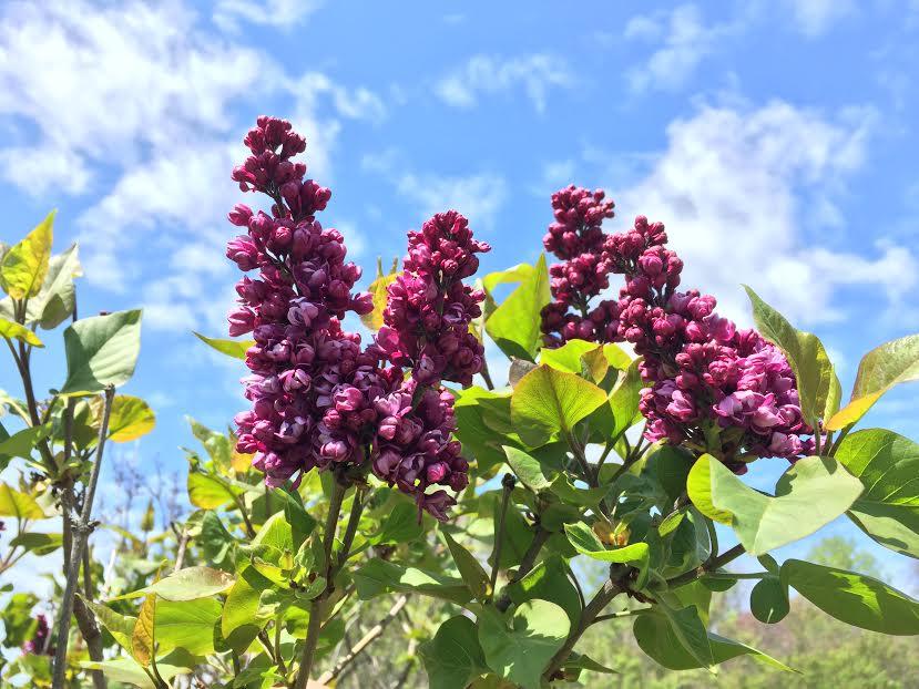 Lilac Fest 7.jpg