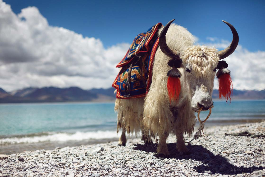 Holy yak of Namtso Lake   /Yak sacré du lac Namtso   | TIBET