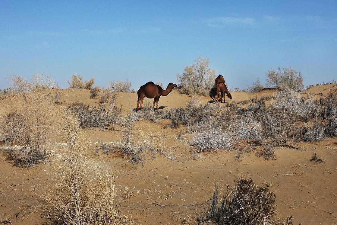 Camels in the  Karakum  desert  | TURKMENISTAN