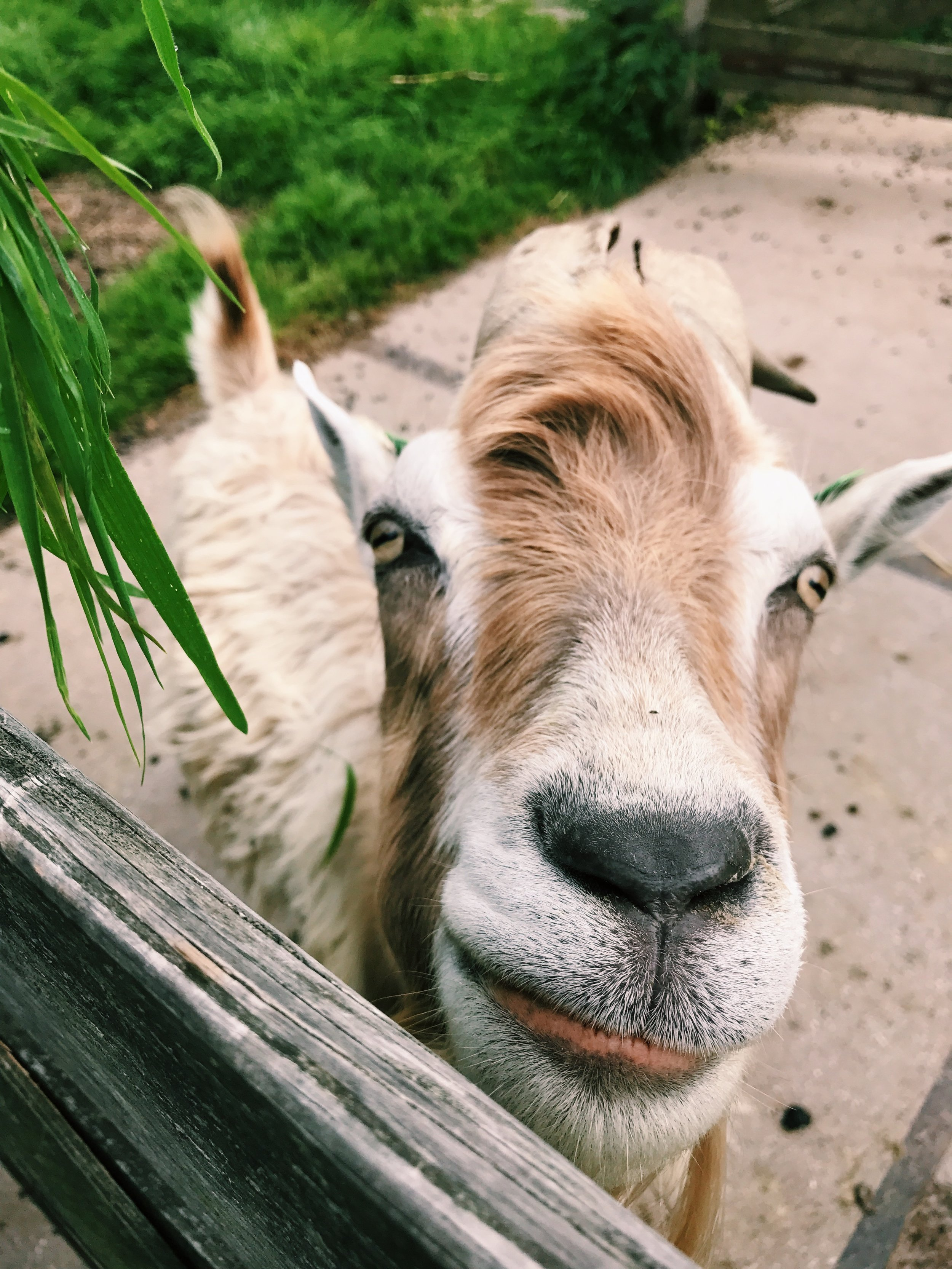 Best goat ever.