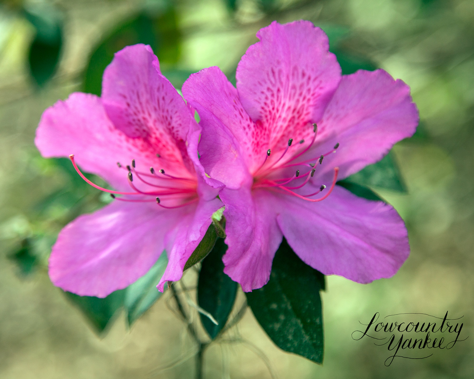 Azalea, Hampton Plantation