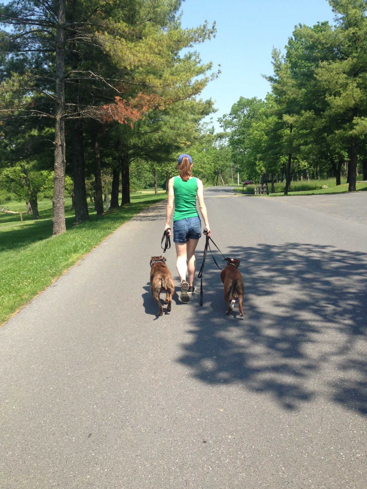 Jug taking a happy walk with his owner and another dog after his training at The Balanced Dog is complete.