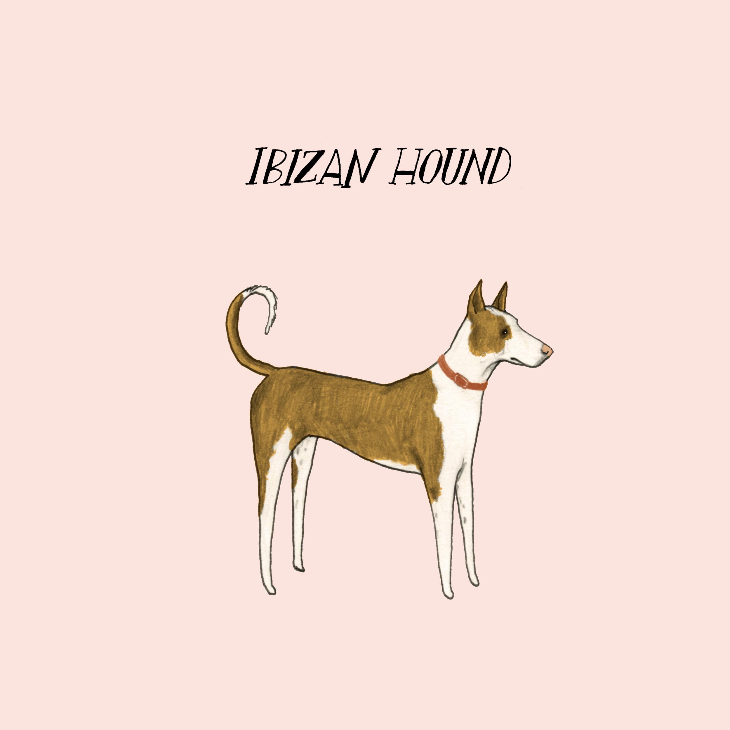 Dogadayibizanhound.jpg