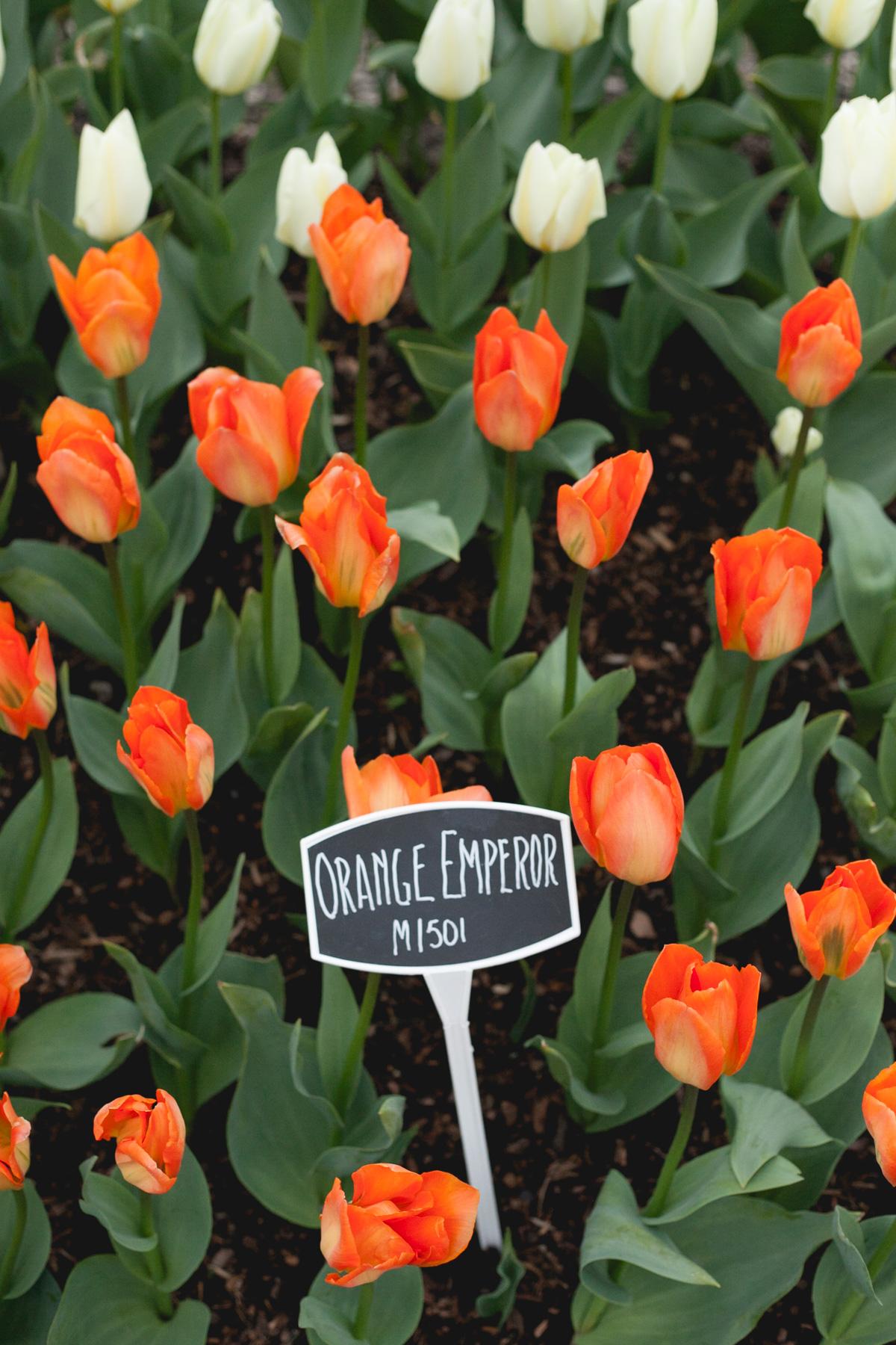 skagit-orange-tulips_annette-rotz.jpg