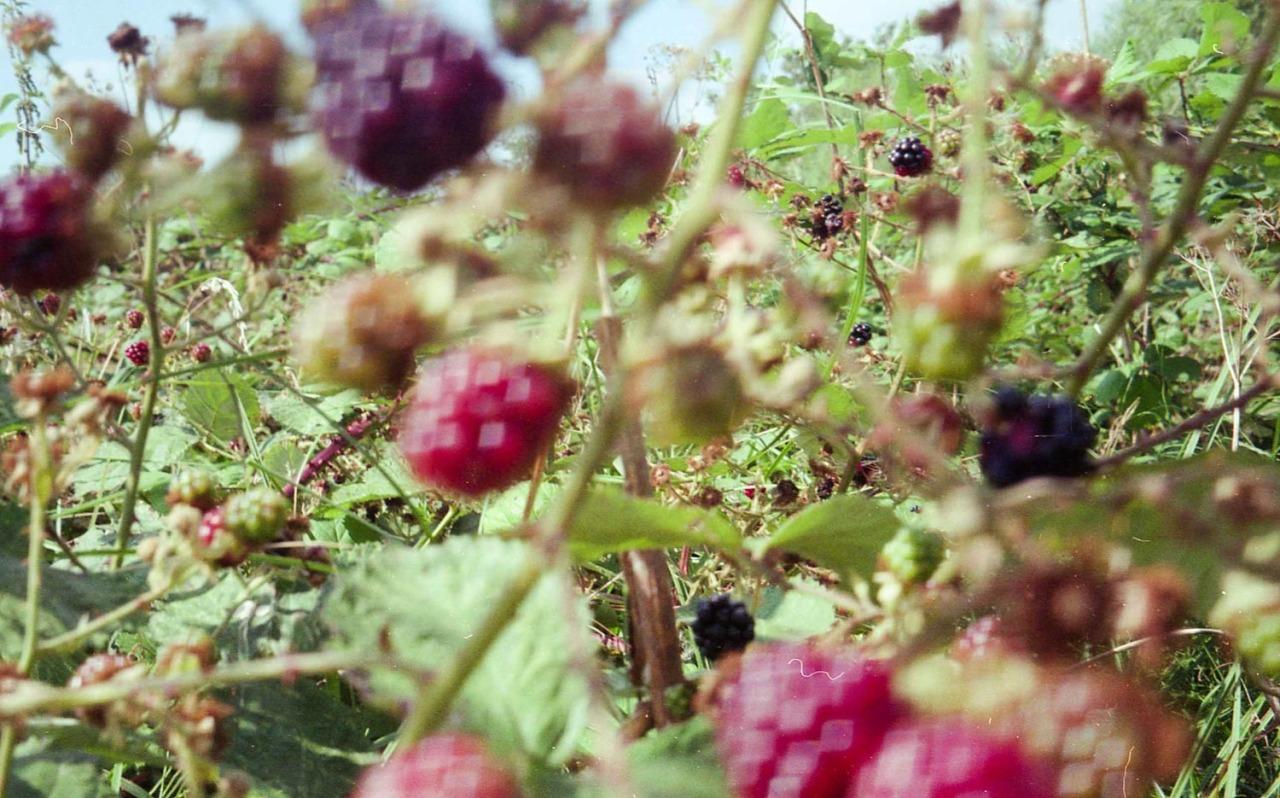 Late summer raspberries  Hackney Marshes   August 2016