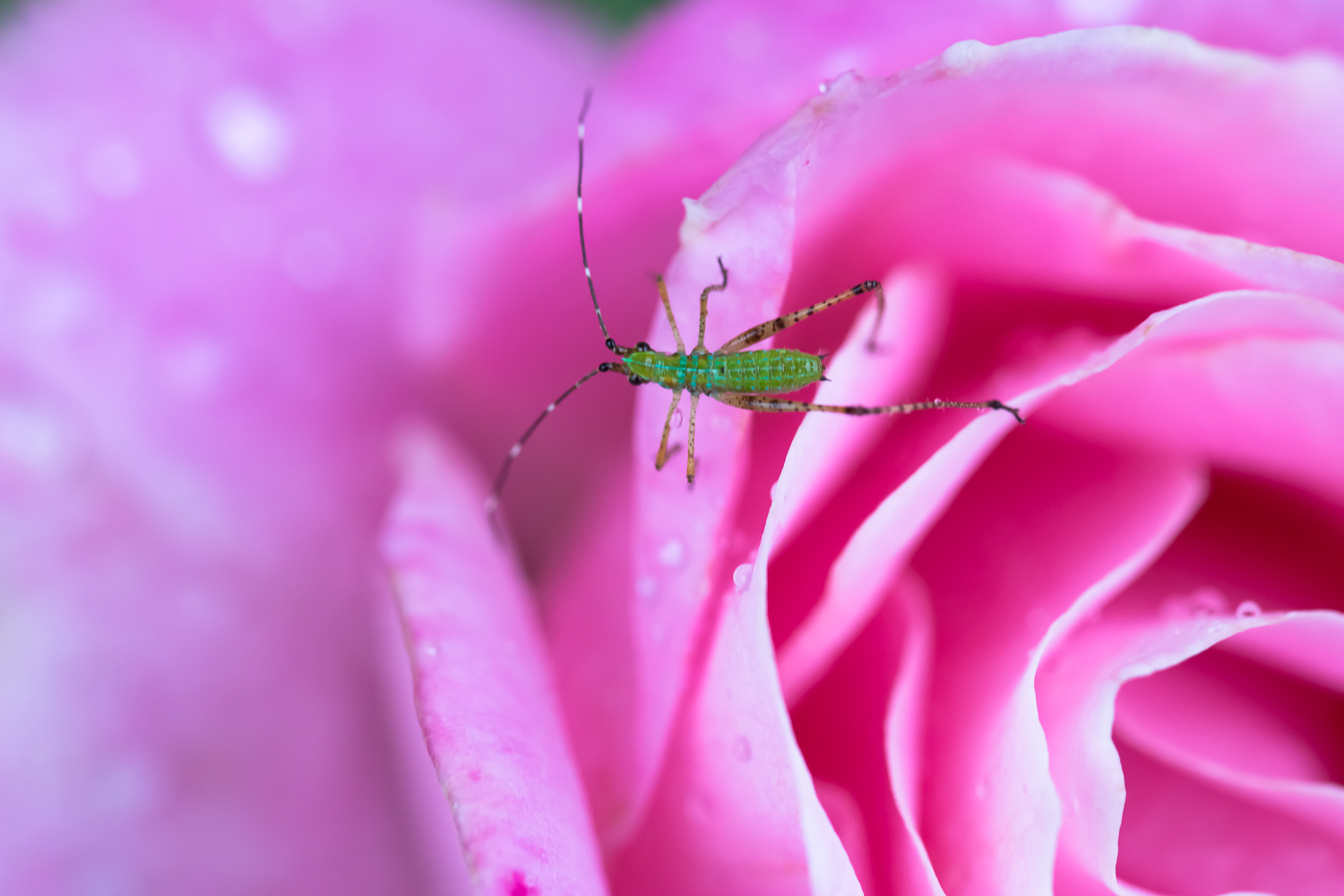 InsectonRose