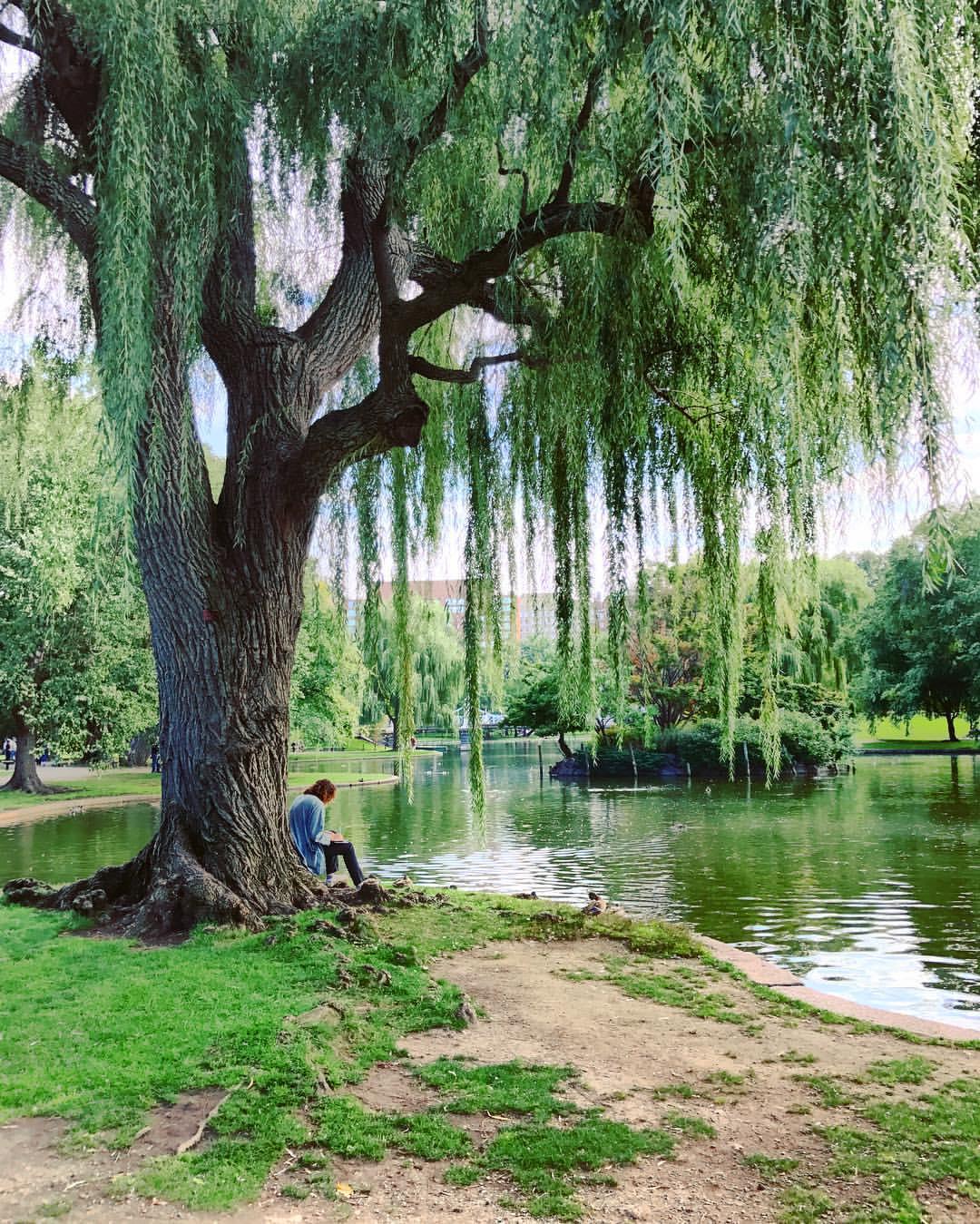 Solitude.  #Boston #nature #landscape #city #publicgarden #weepingwillow #tree #iphone7plus #hdr