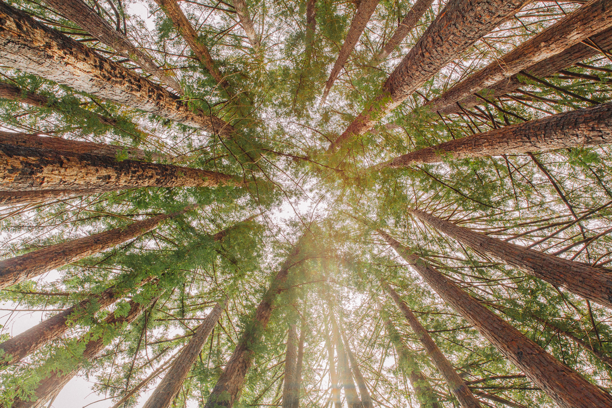 Big_Sur_Redwoods_web.jpg