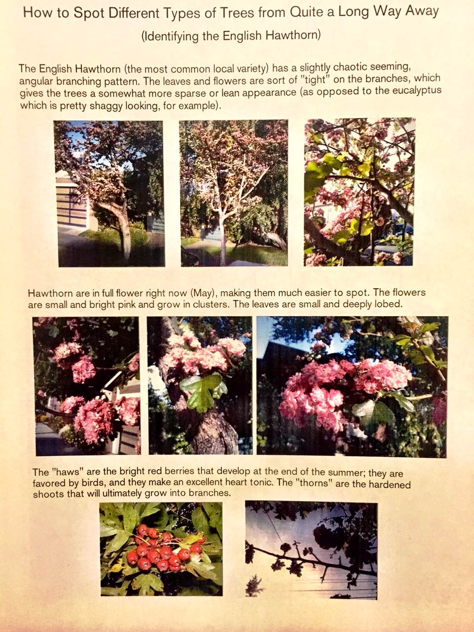 How to Spot Different Types of Trees From Quite a Long Way Away: Hawthorn Edition
