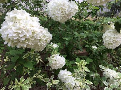白い花が好き(^v^)