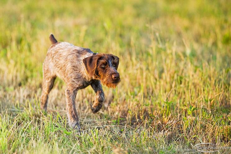 SS-Deutsch-Drahthaar-Puppy-Training.jpg