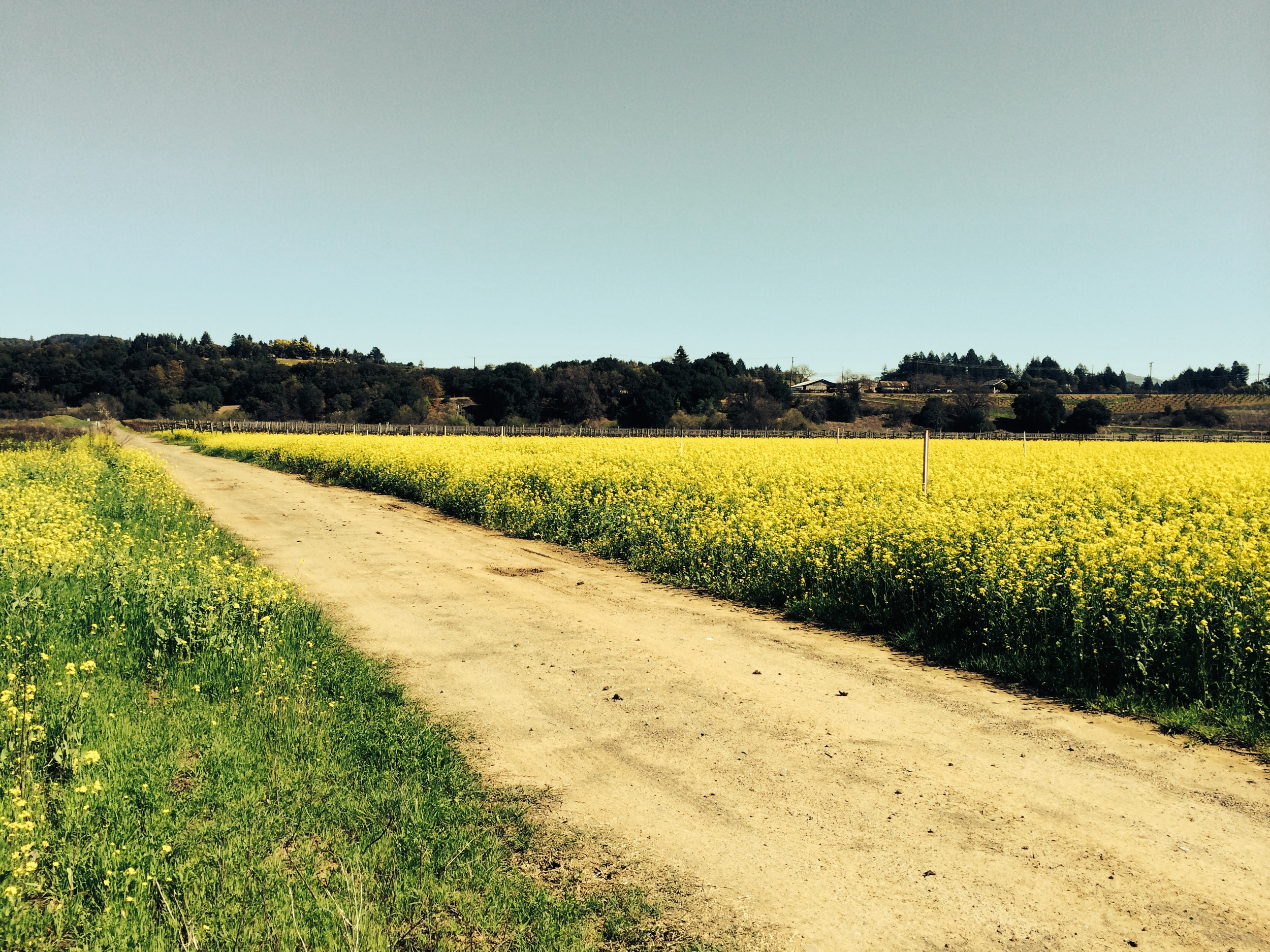 The raw field of Mustard. What you can't see is all the trash and metal hiding under the field.