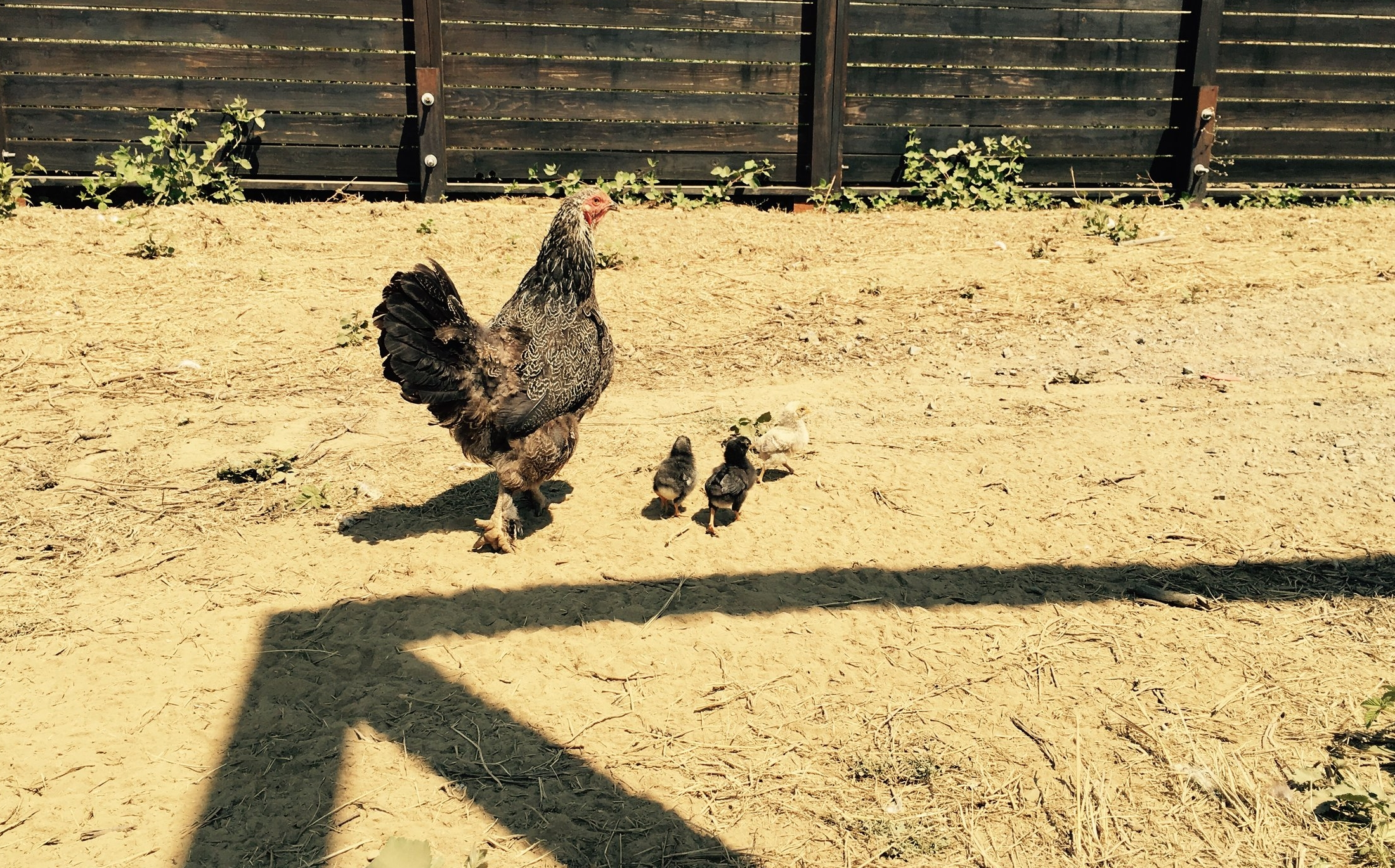 A mother and her babies. Our chickens live a natural life. They even raise their own families.