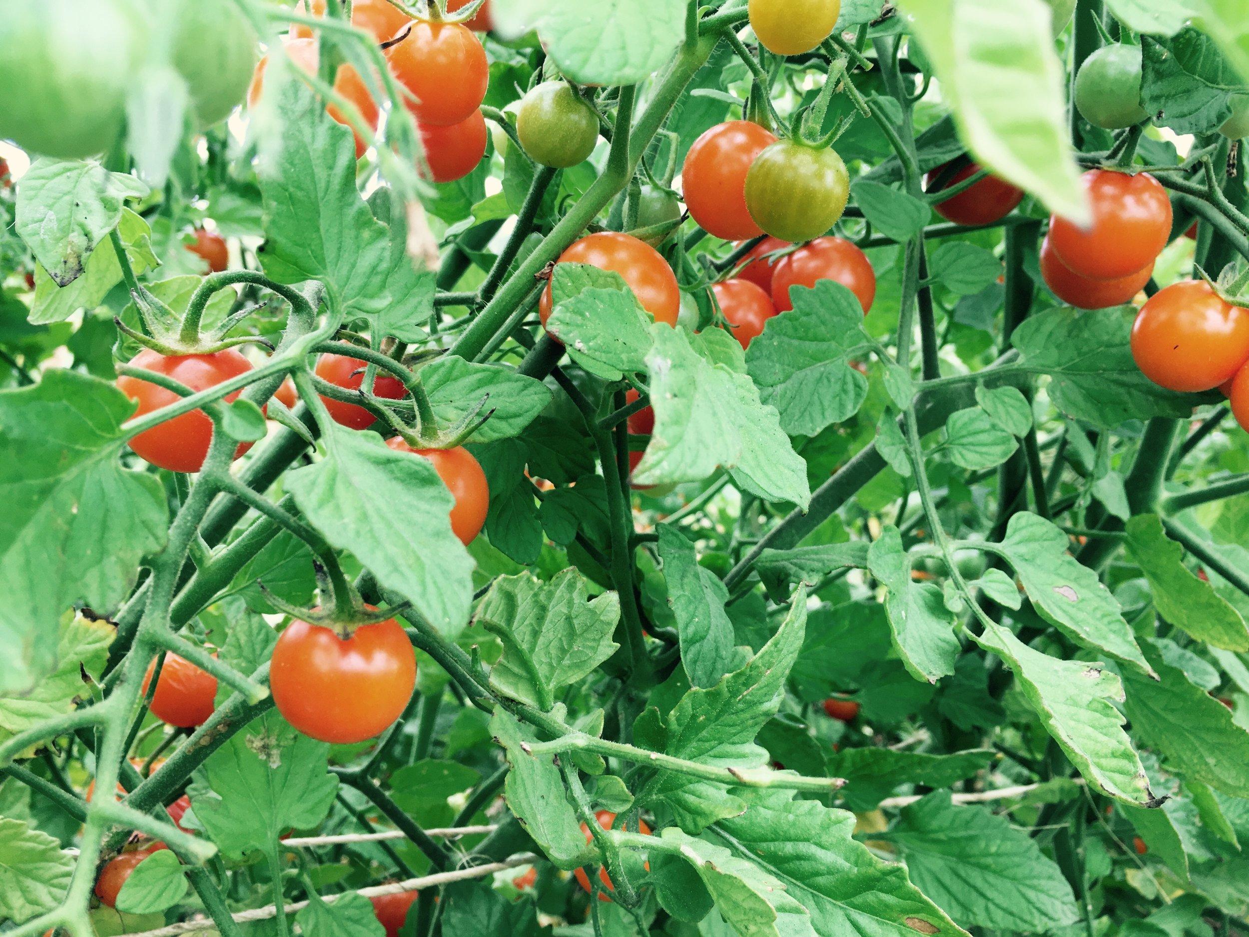 Noci Tomatos