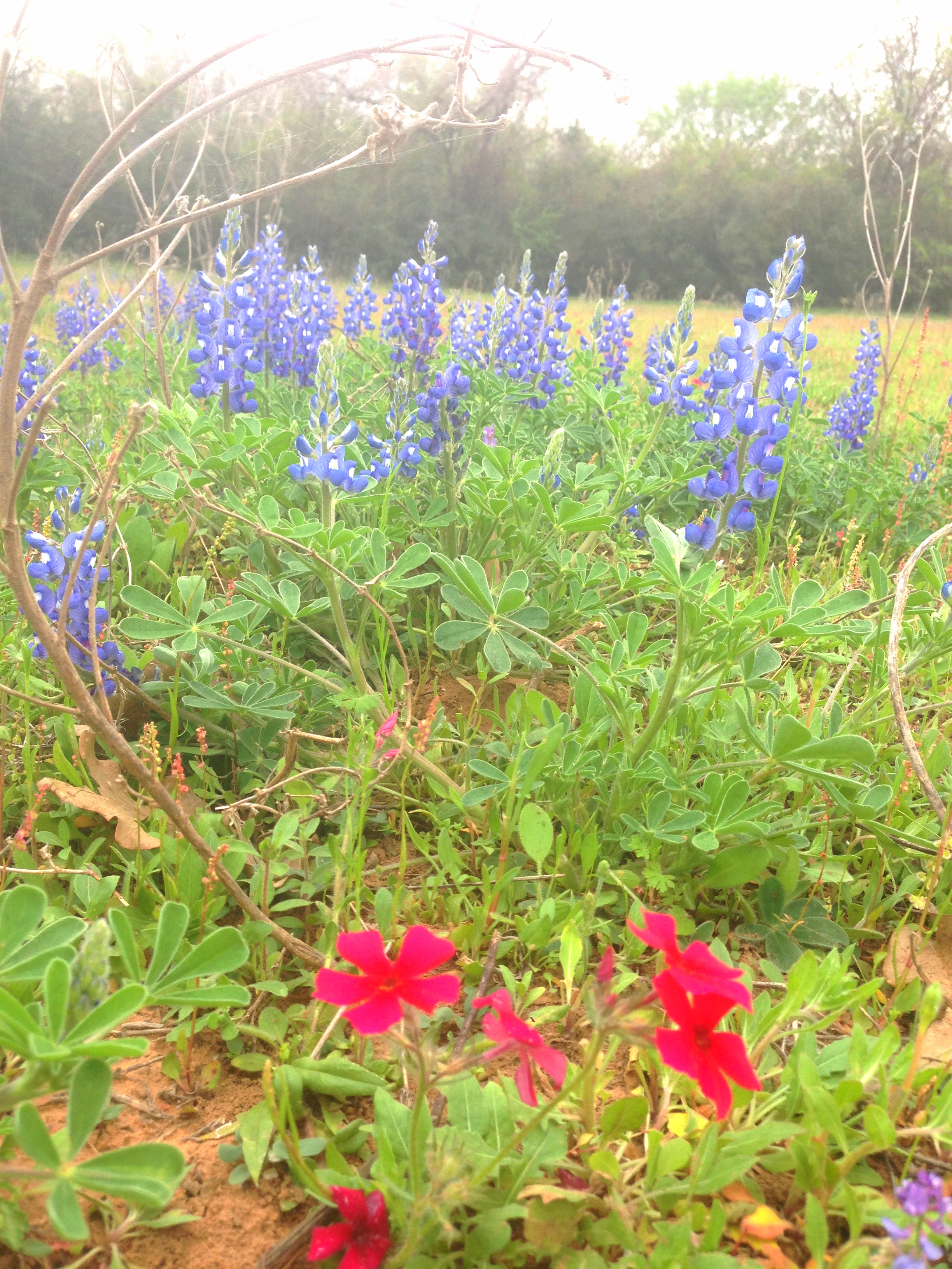 Texas Bluebonnets. Natural beauties.