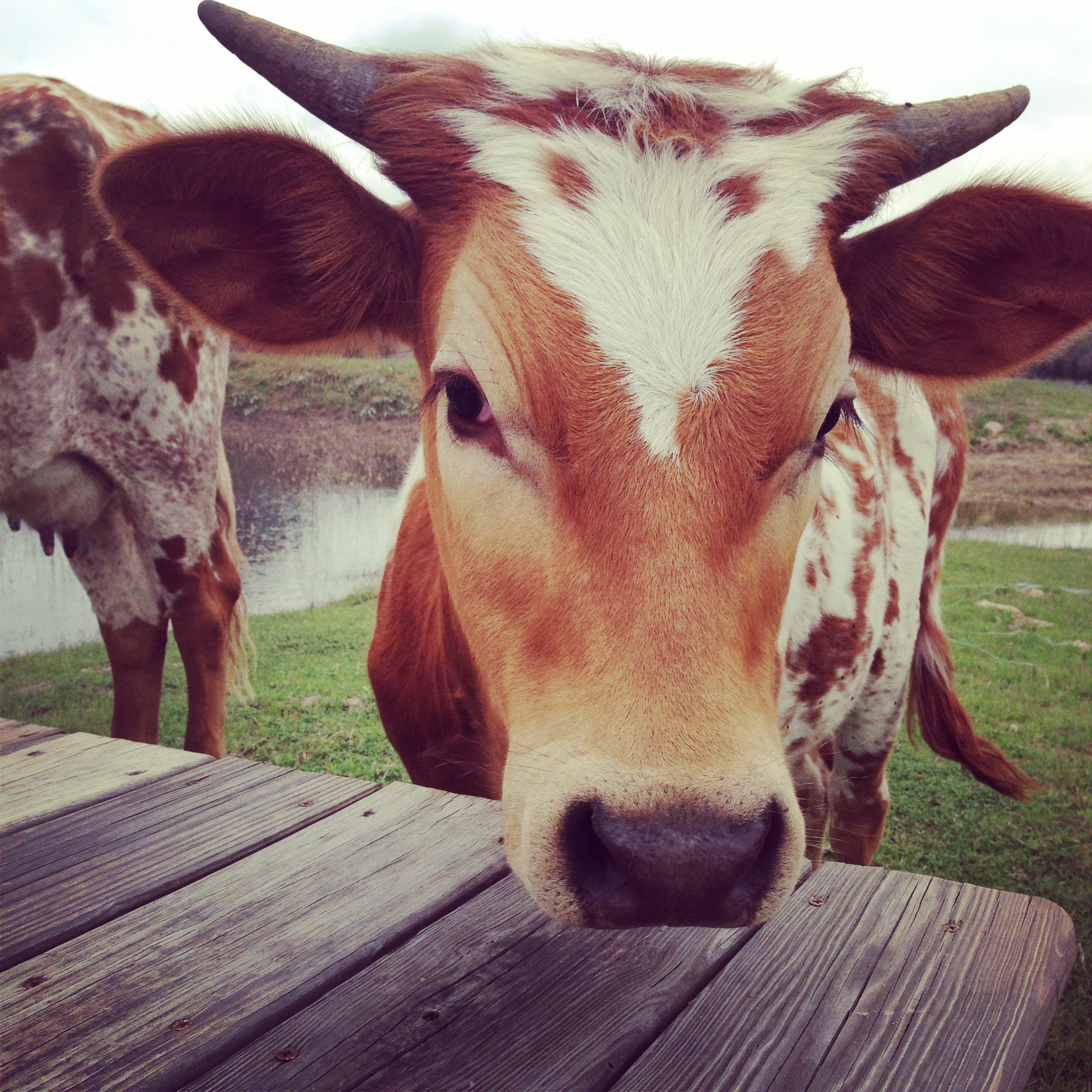 Yes. We were thisclose. This is a beautiful baby longhorn who would not let me whisper to her because she was hungry and just wanted some nomz.