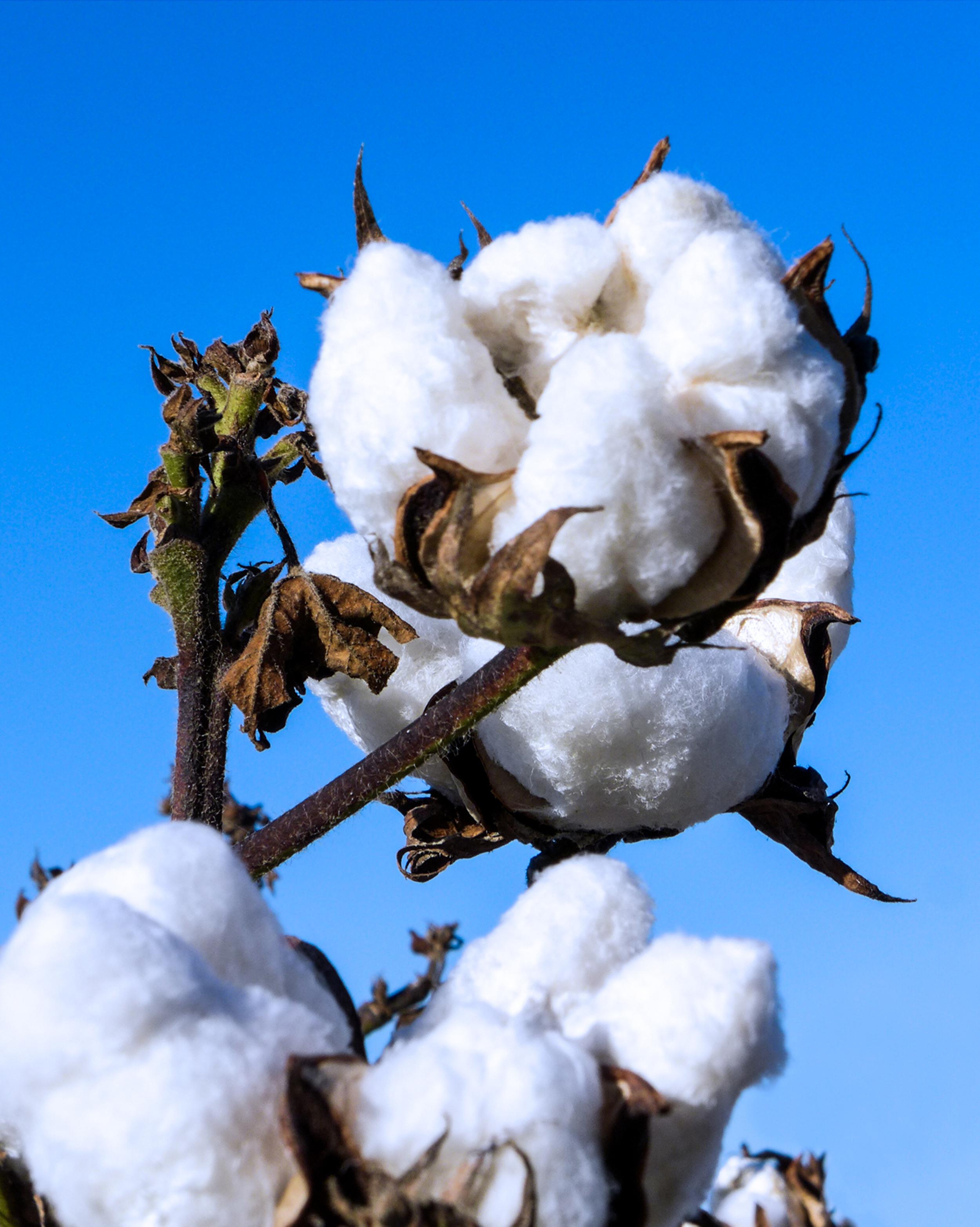 single cotton_8x10.jpg