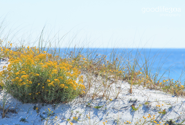 beachscapes - yellow flowers on dunes.jpg