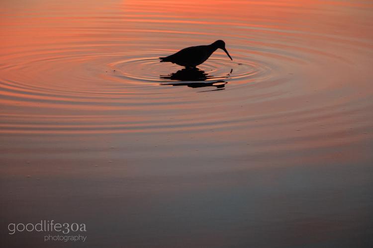 wildlife - circle tern.jpg