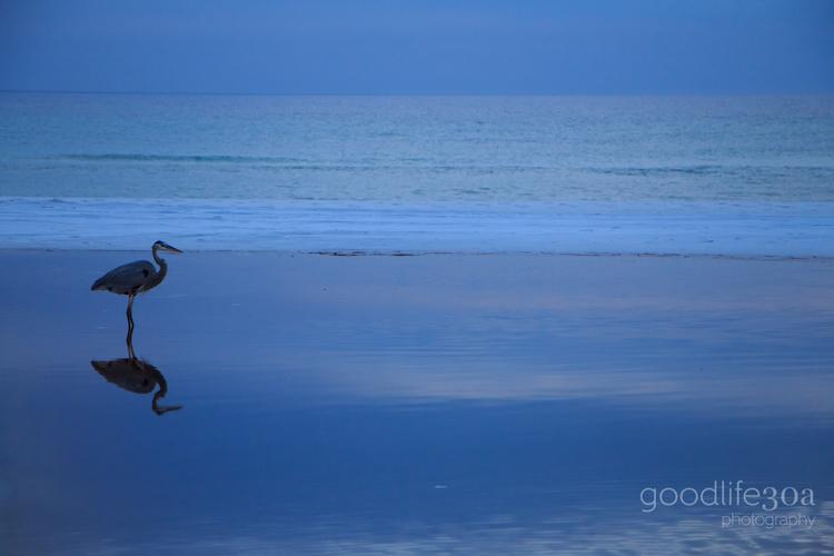 wildlife - heron blue reflection big redfish.jpg