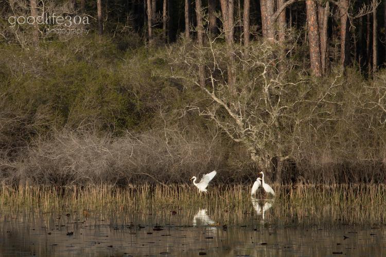 wildlife - three egrets at grayton.jpg