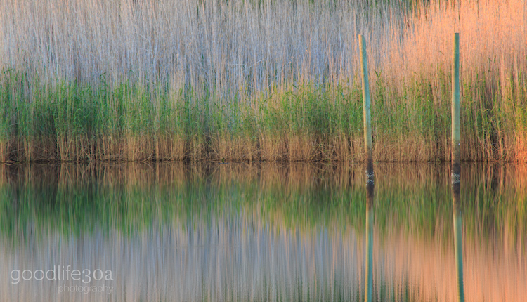 reflections - phragmites.jpg