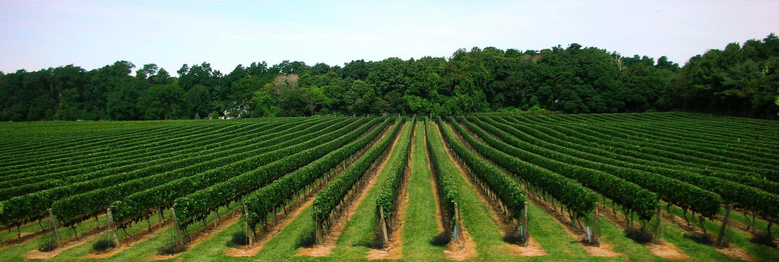 vineyardcropped1.jpg