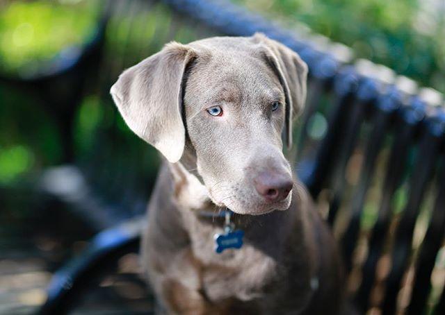 Thor ⚡️💞 . . . . . . . #thor #silverlab #canidogwalkingco #houston #houstonpetsitting #houstondogwalking #houstondogwalker #houstonpetsitter #dogwalker #dogwalking #petsitting #dogsofinstagram #dogs #dogsofhouston #houstondogs #houstonpets #doglove #doglovers #instagood #dailydogs #dailydog  #igdogs #photography #dogsilove #labradors #labradorsofinstagram #igpets #houstonphotography #dogphotography #canonusa