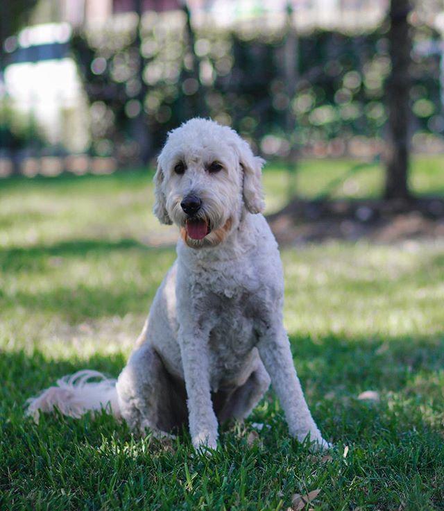 Dog park day with gorgeous Carmen! Happy Friday 🐩💃 . . . . . . . . #carmen #doodle #goldendoodle #canidogwalkingco #houston #houstonpetsitting #houstondogwalking #houstondogwalker #houstonpetsitter #dogwalker #dogwalking #petsitting #dogsofinstagram #dogs #dogsofhouston #houstondogs #houstonpets #doglove #doglovers #instagood #dailydogs #dailydog  #igdogs #photography #houstonphotography #dogphotography #canonusa