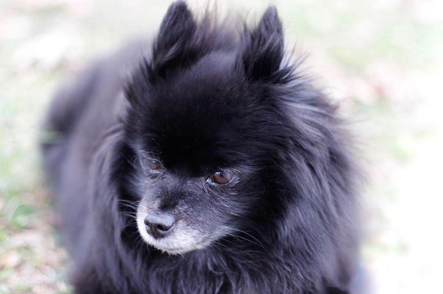 Preston enjoying the beautiful weather today! 🌤☀️ . . . . . . . . #preston #pomeranian #canidogwalkingco #houston #houstonpetsitting #houstondogwalking #houstondogwalker #houstonpetsitter #dogwalker #dogwalking #petsitting #dogsofinstagram #dogs #dogsofhouston #houstondogs #houstonpets #doglove #doglovers #instagood #dailydogs #dailydog  #igdogs #photography #houstonphotography #dogphotography #canonusa