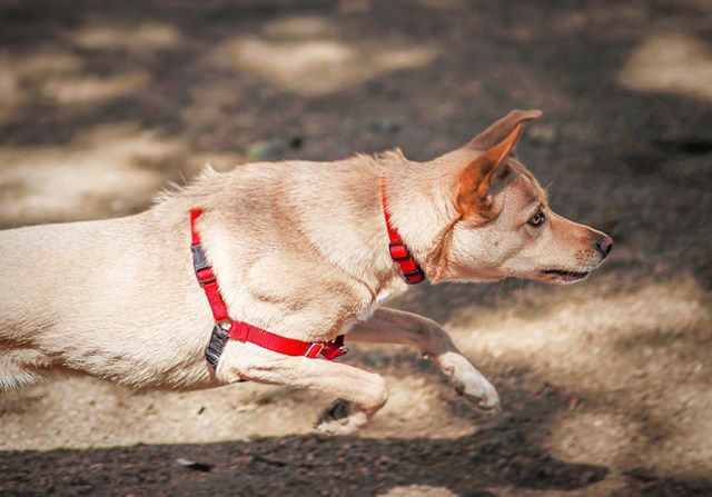 ⚡️Pearl⚡️ . . . . . . . #pearl #canidogwalkingco #houston #houstonpetsitting #houstondogwalking #houstondogwalker #houstonpetsitter #dogwalker #dogwalking #petsitting #dogsofinstagram #dogs #dogsofhouston #houstondogs #houstonpets #doglove #doglovers #instagood #dailydogs #dailydog  #igdogs #photography #houstonphotography #dogphotography #canonusa