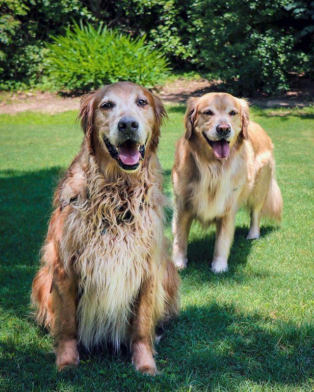 Brothers Jasper & Jake 💕 . . . . . . . . . #jake #jasper #goldenretrievers #canidogwalkingco #houston #houstonpetsitting #houstondogwalking #houstondogwalker #houstonpetsitter #dogwalker #dogwalking #petsitting #dogsofinstagram #dogs #dogsofhouston #houstondogs #houstonpets #doglove #doglovers #instagood #dailydogs #dailydog  #igdogs #photography #houstonphotography #dogphotography #canonusa