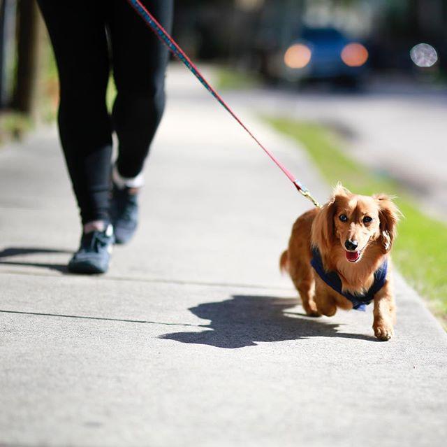 Lexi: a fashion icon. Happy Friday! 🐶 . . . . . . . . . #lexi #canidogwalkingco #houston #houstonpetsitting #houstondogwalking #houstondogwalker #houstonpetsitter #dogwalker #dogwalking #petsitting #dogsofinstagram #dogs #dogsofhouston #houstondogs #houstonpets #doglove #doglovers #instagood #dailydogs #dailydog  #igdogs #photography #houstonphotography #dogphotography #canonusa