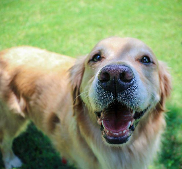 Mondays are ruff! 🐶 . . . . . . . . . #jake #goldenretriever #canidogwalkingco #houston #houstontexas #houstonpetsitting #houstondogwalking #houstondogwalker #houstonpetsitter #dogwalker #dogwalking #petsitting #dogsofinstagram #dogs #dog #dogsofhouston #houstondogs #houstonpets #doglove #doglovers #instagood #dailydogs #dailydog  #igdogs #photography #houstonphotography #dogphotography #nature #canonusa