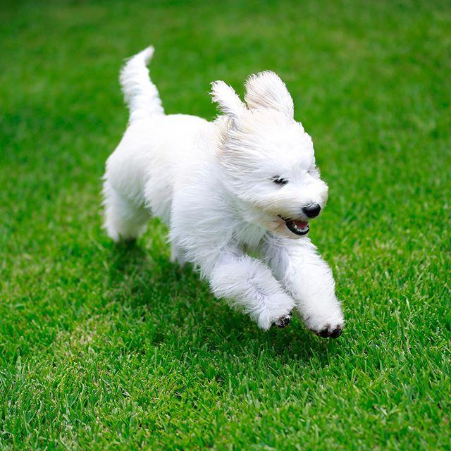⚡️Gracie⚡️ . . . . . . . . #gracie #goldendoodle #canidogwalkingco #houston #houstonpetsitting #houstondogwalking #houstondogwalker #houstonpetsitter #dogwalker #dogwalking #petsitting #dogsofinstagram #dogs #dogsofhouston #houstondogs #houstonpets #doglove #doglovers #instagood #dailydogs #dailydog  #igdogs #photography #houstonphotography #dogphotography #canonusa