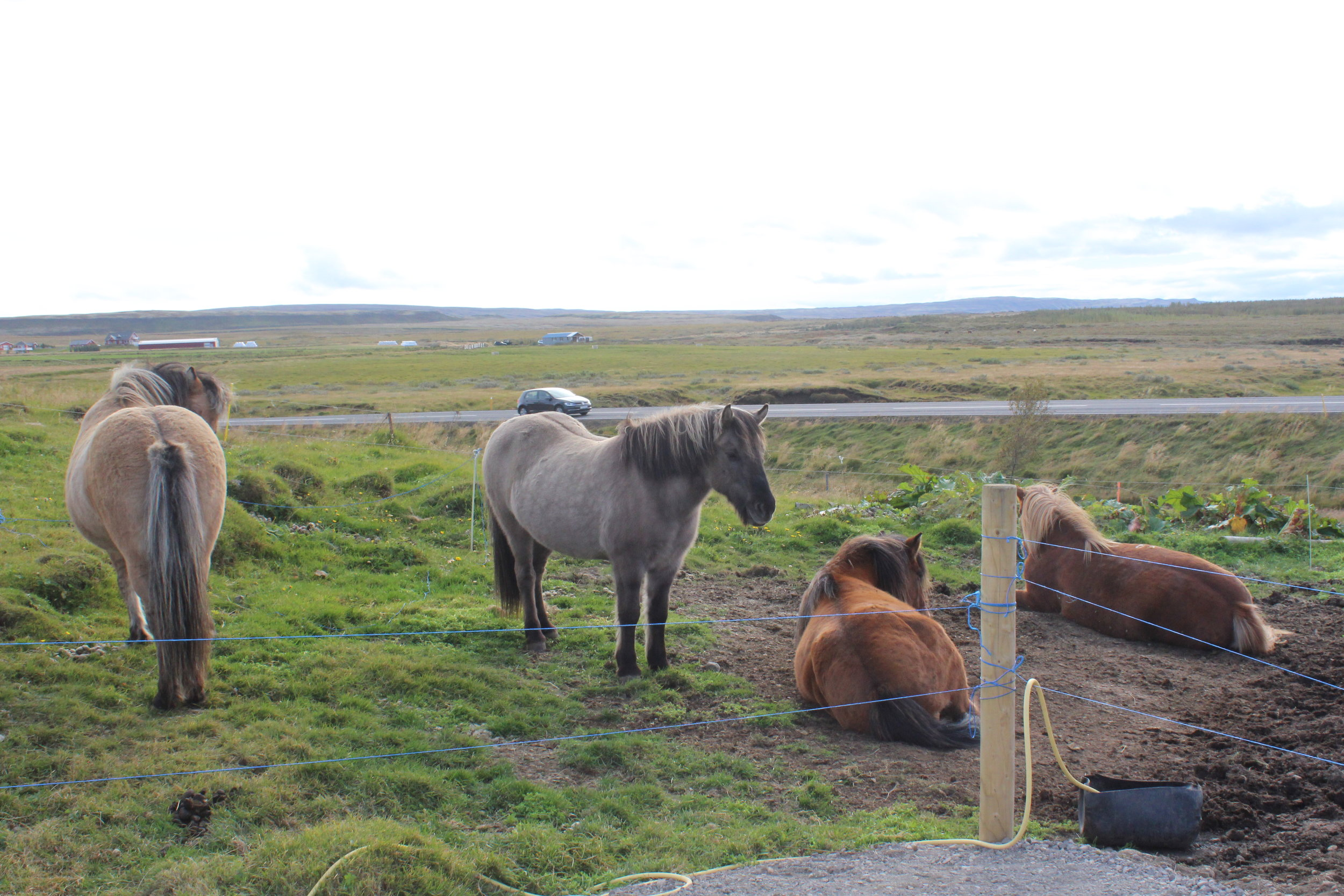 - Here's a quick stop at a small farm to pet some (and take selfies with) Icelandic horses, a breed unique to Iceland. They have a thick coat of hair necessary for Iceland's harsh weather, and are smaller than your typical horse breed.