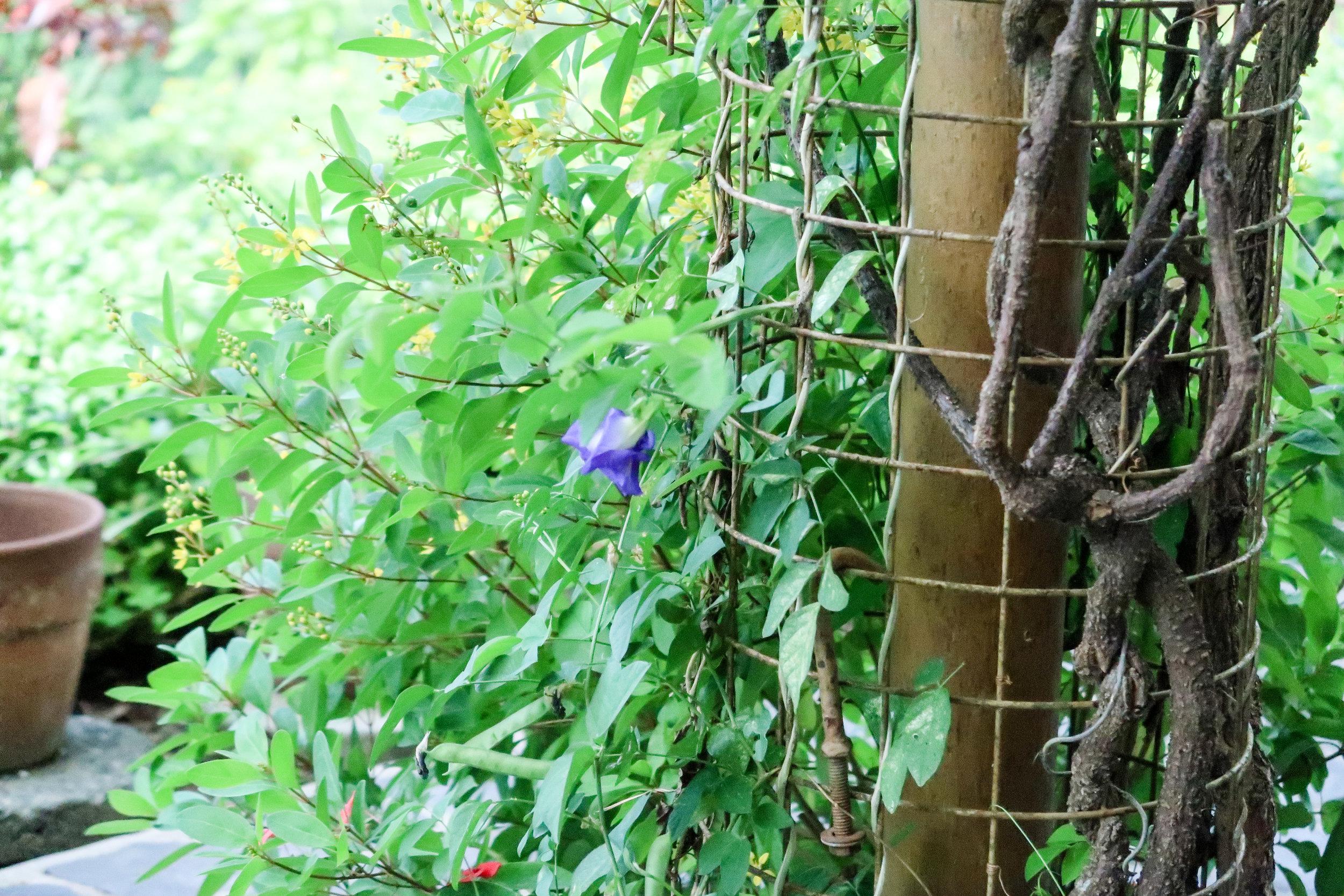Blue flower for your iced tea