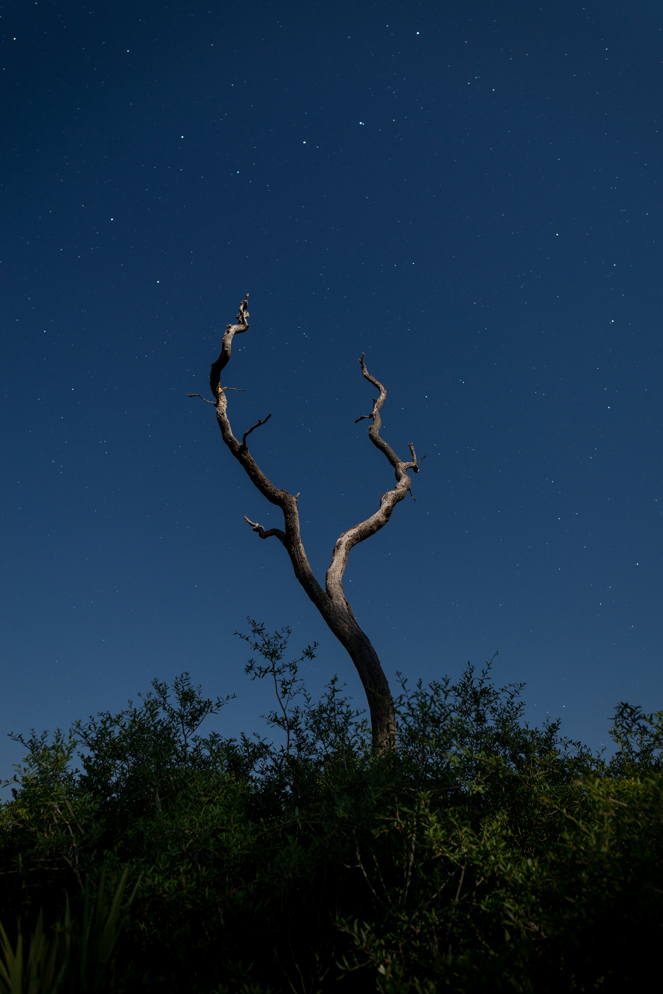 A moonlit oak tree rises from the scrub in the Juniper Prairie Wilderness of the Ocala National Forest.