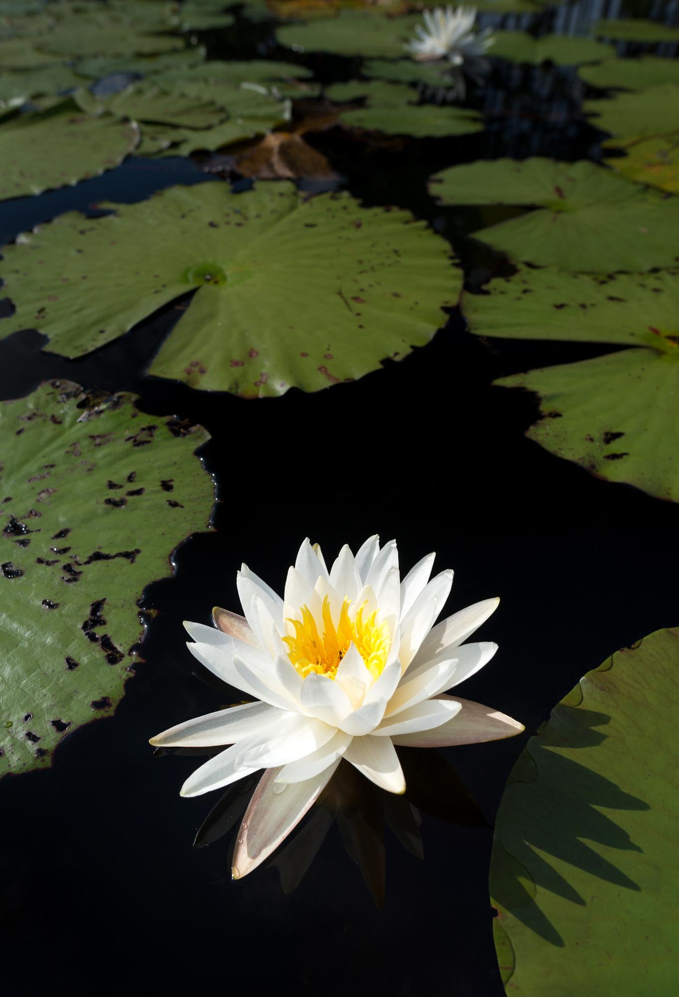 A white water lily pops against the dark pond water in the Juniper Prairie Wilderness.