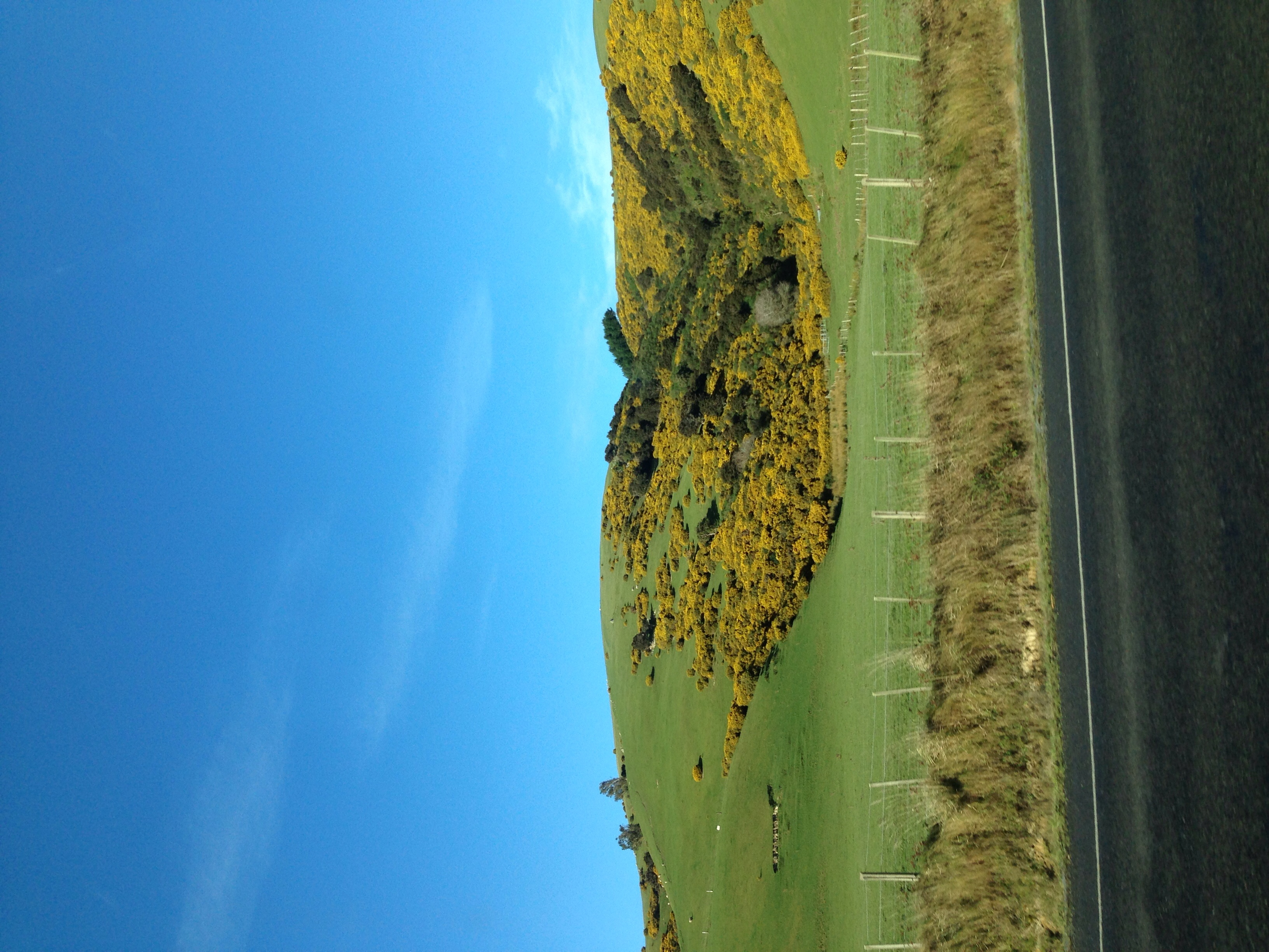 Green rolling hills with sheep and gorse, feels like Ireland.