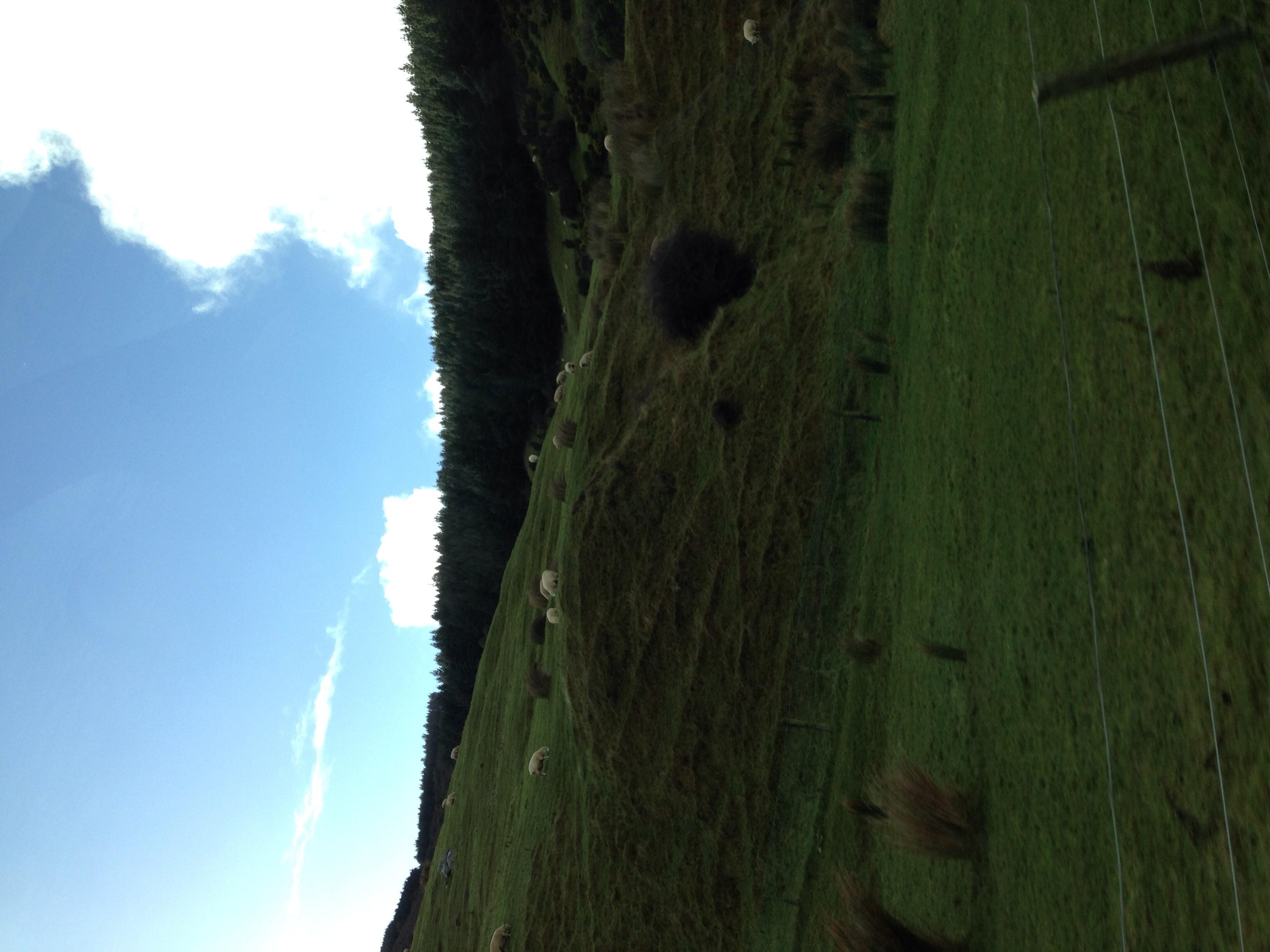 Sheep on a hill along Aramoana Road en route to Aramoana.