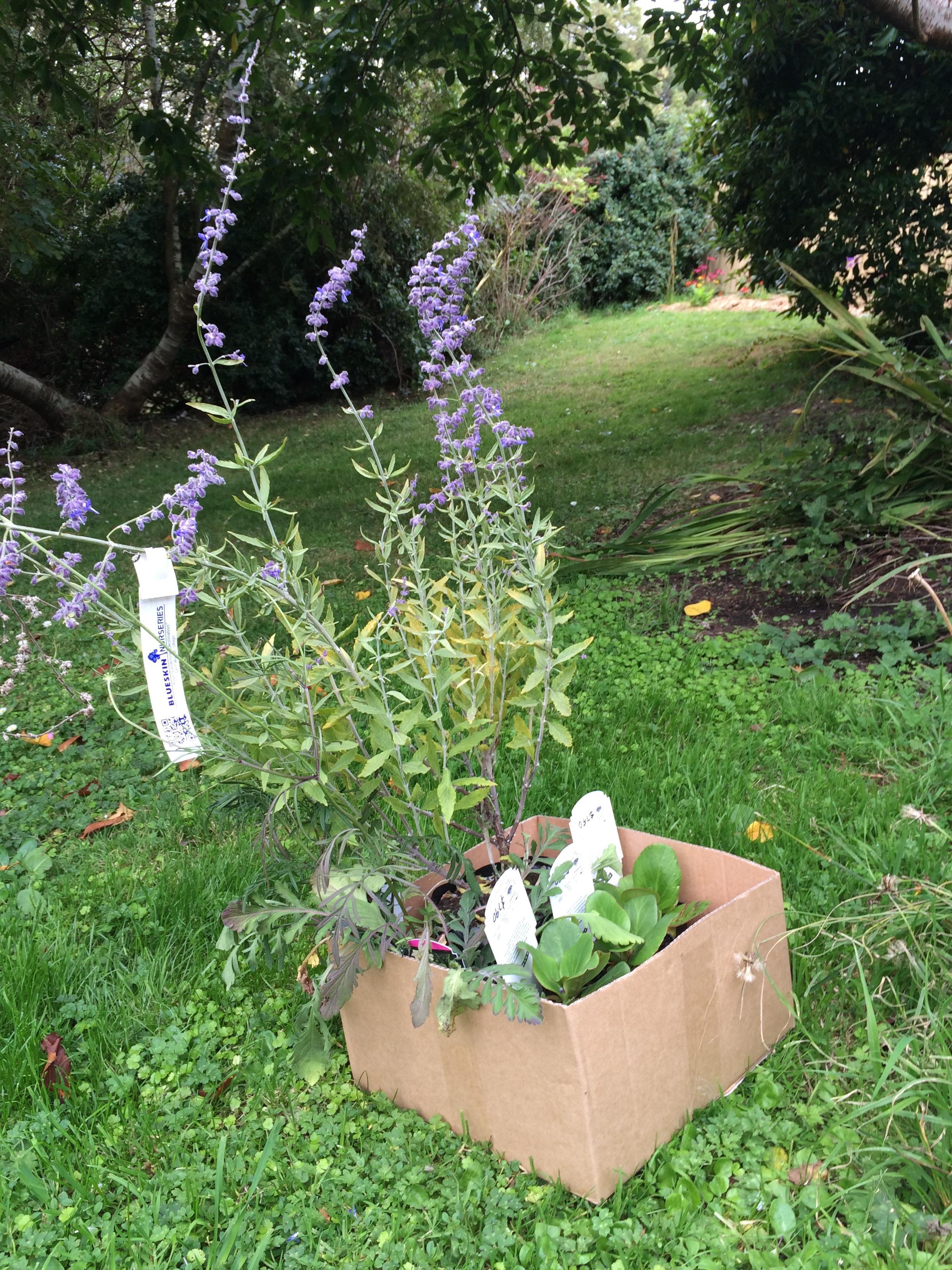 Found Russian Sage at Blueskin Nurseries, a wee reminder of my garden in Ithaca.