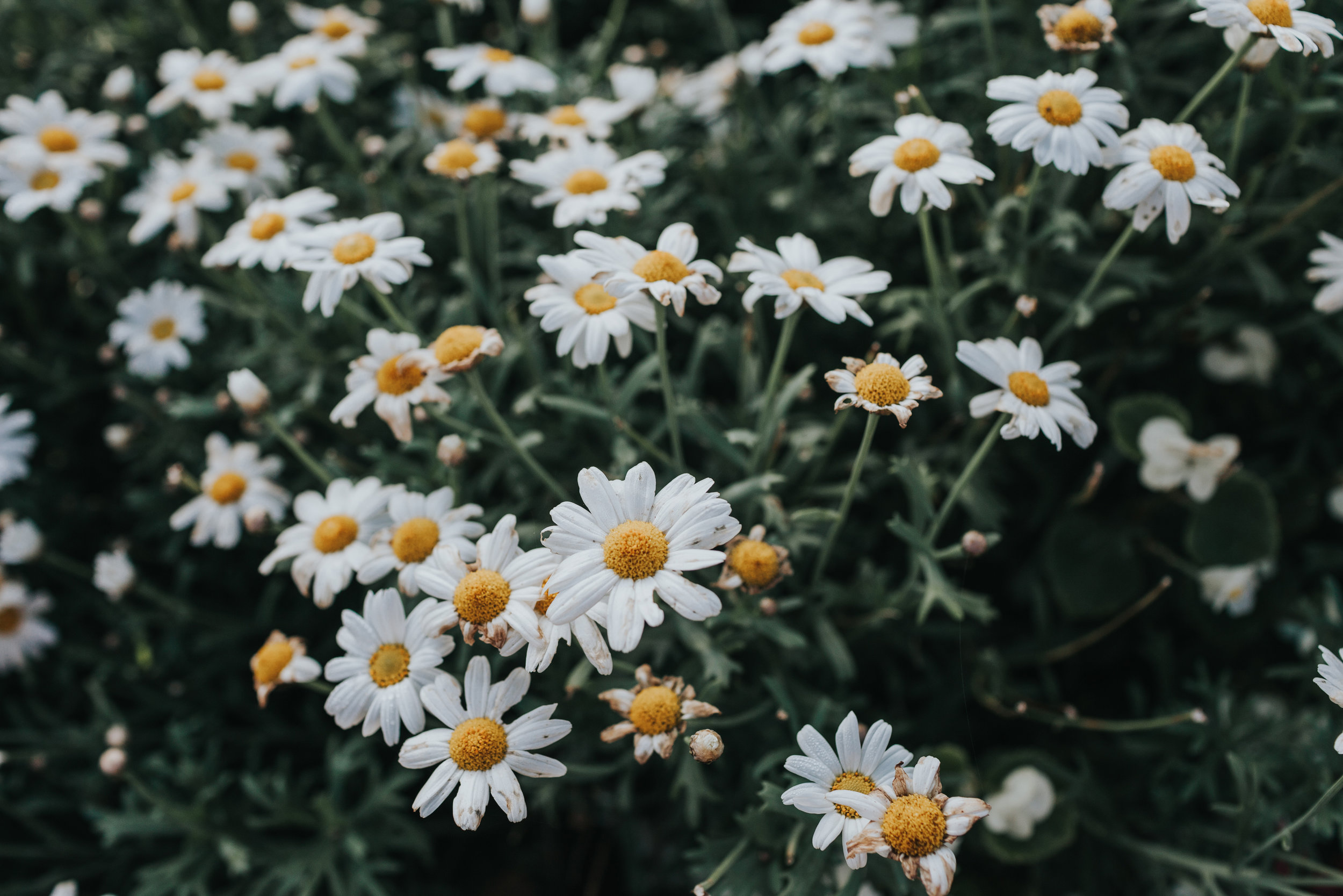 Daisies growing outside.