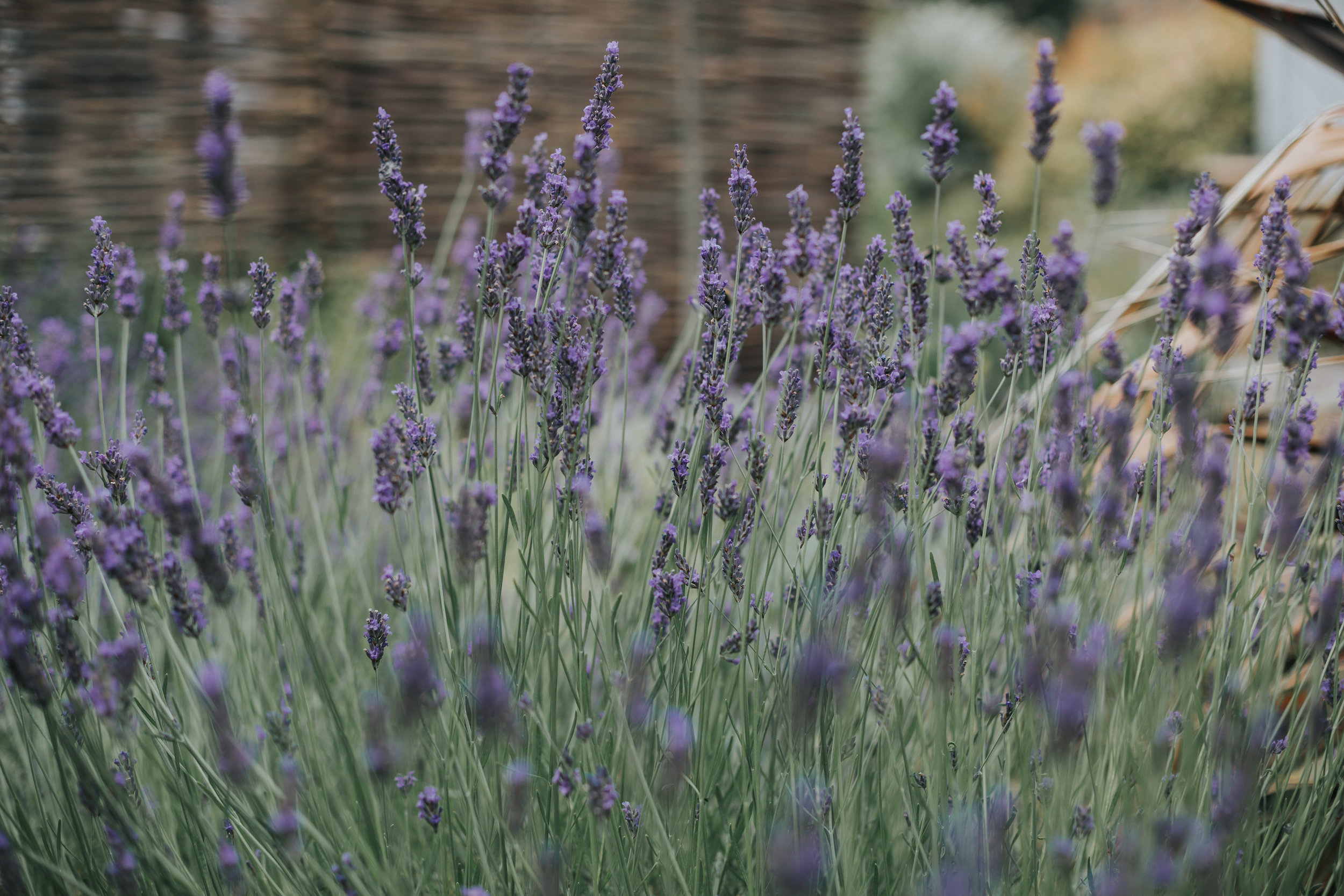 Lavender in Cotswolds House Hotel Grounds.