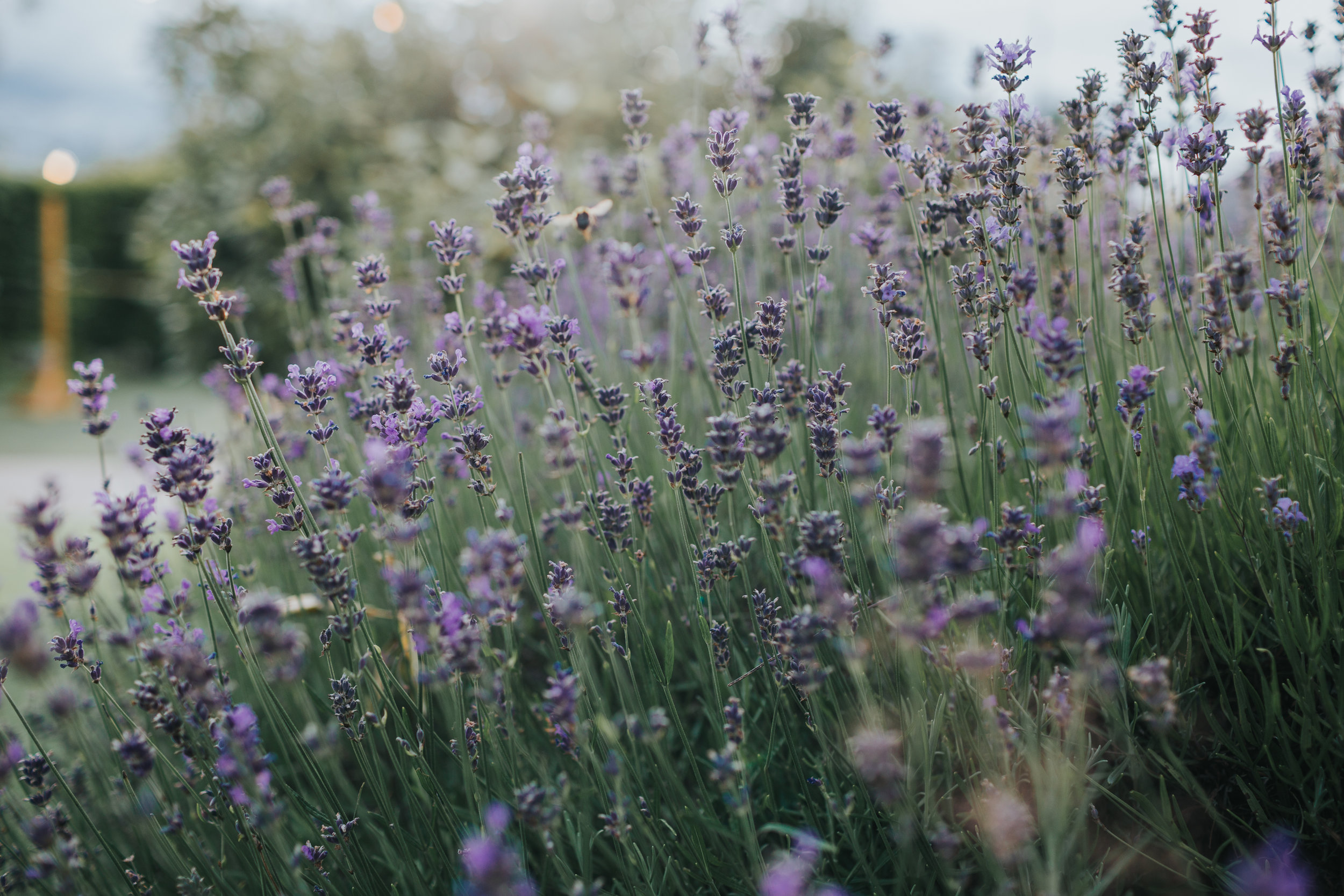 A bee flies through some lavender.