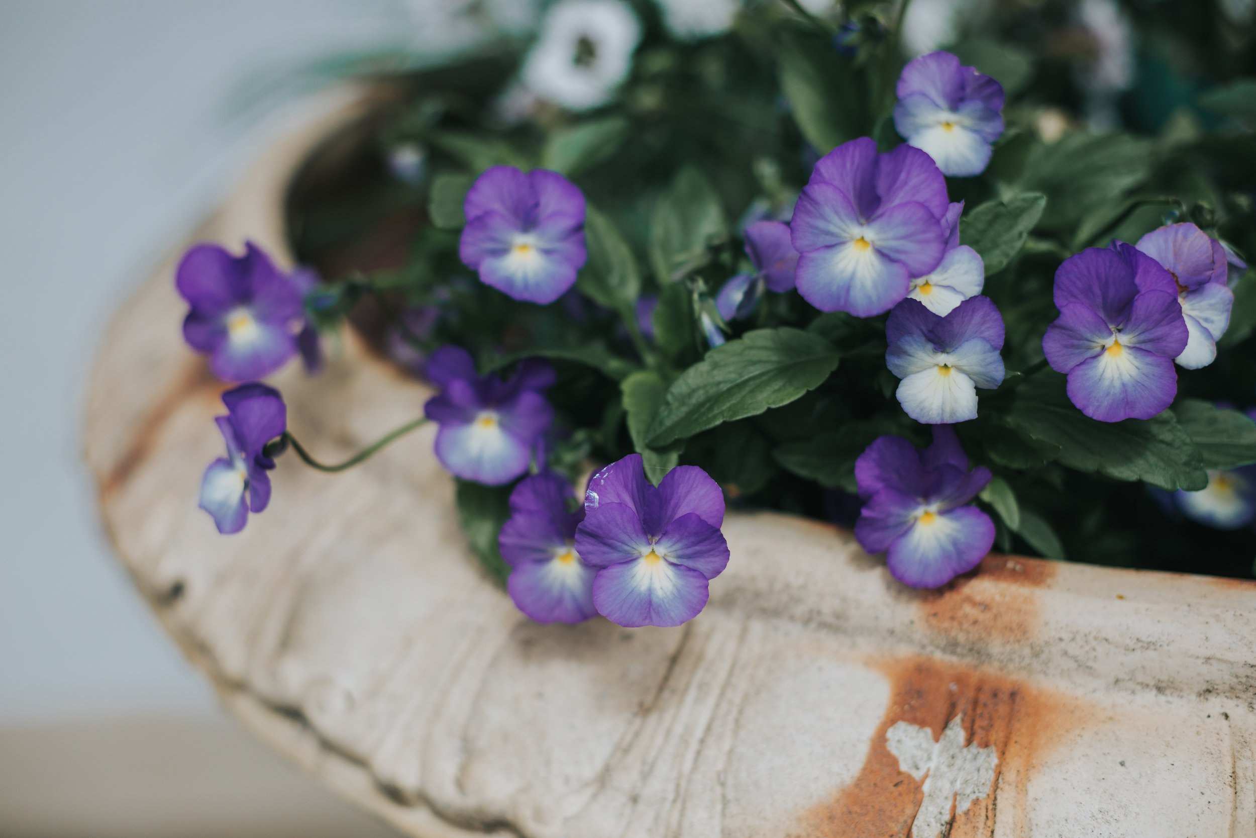 Blue pansy flowers in pot.