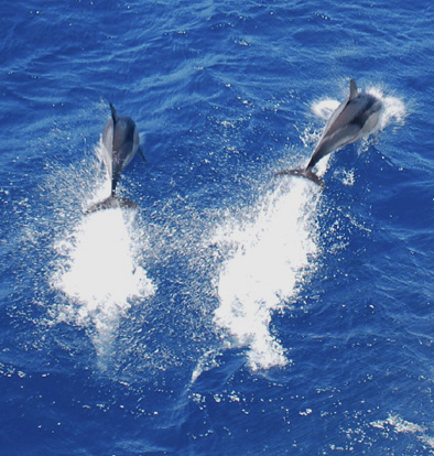 Dolphins in the Greek Aegean.