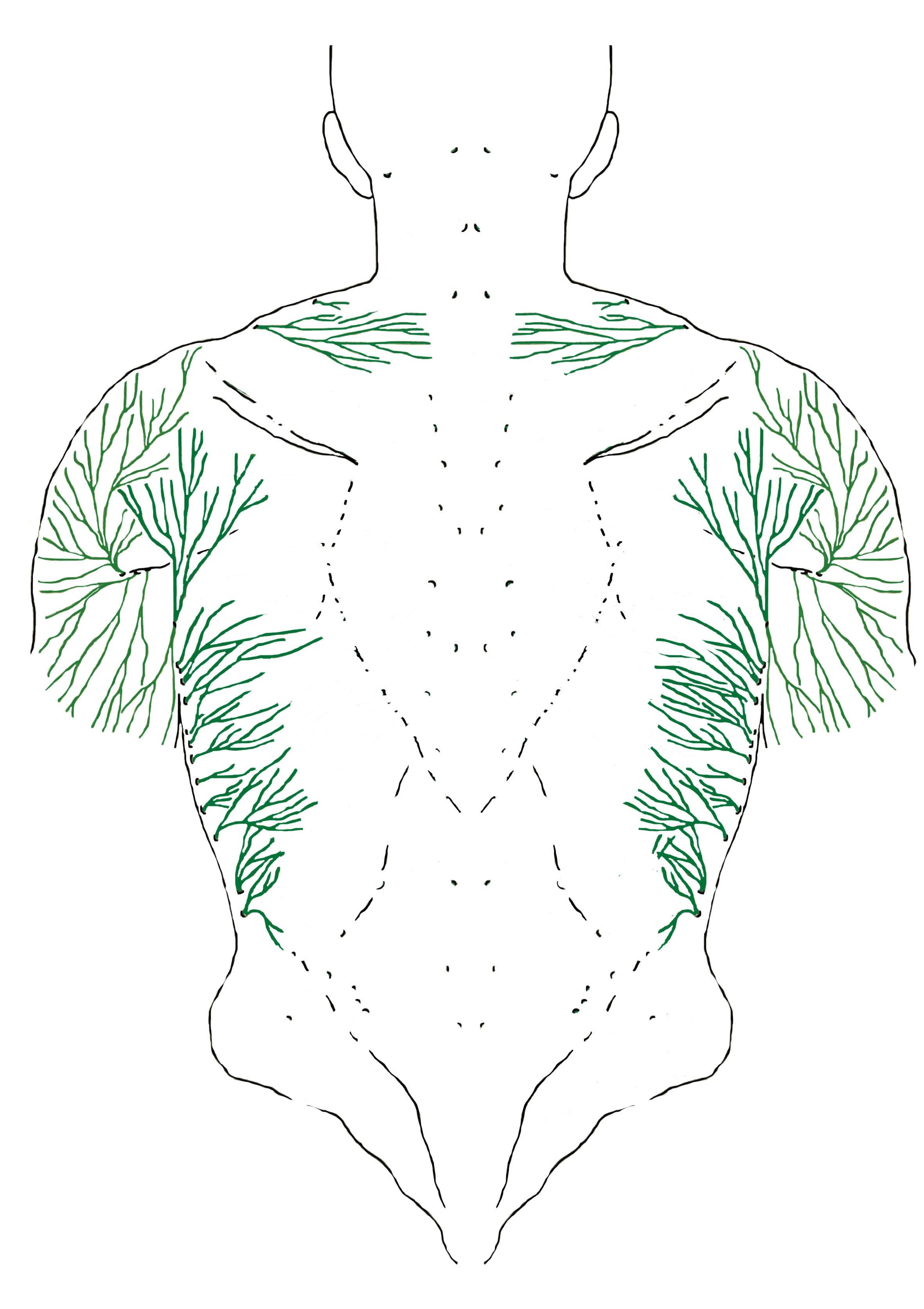 Beispiel: Zweige der kutanen Nerven, hier im Bereich des Latissimimus (Quelle: Diane Jacobs)