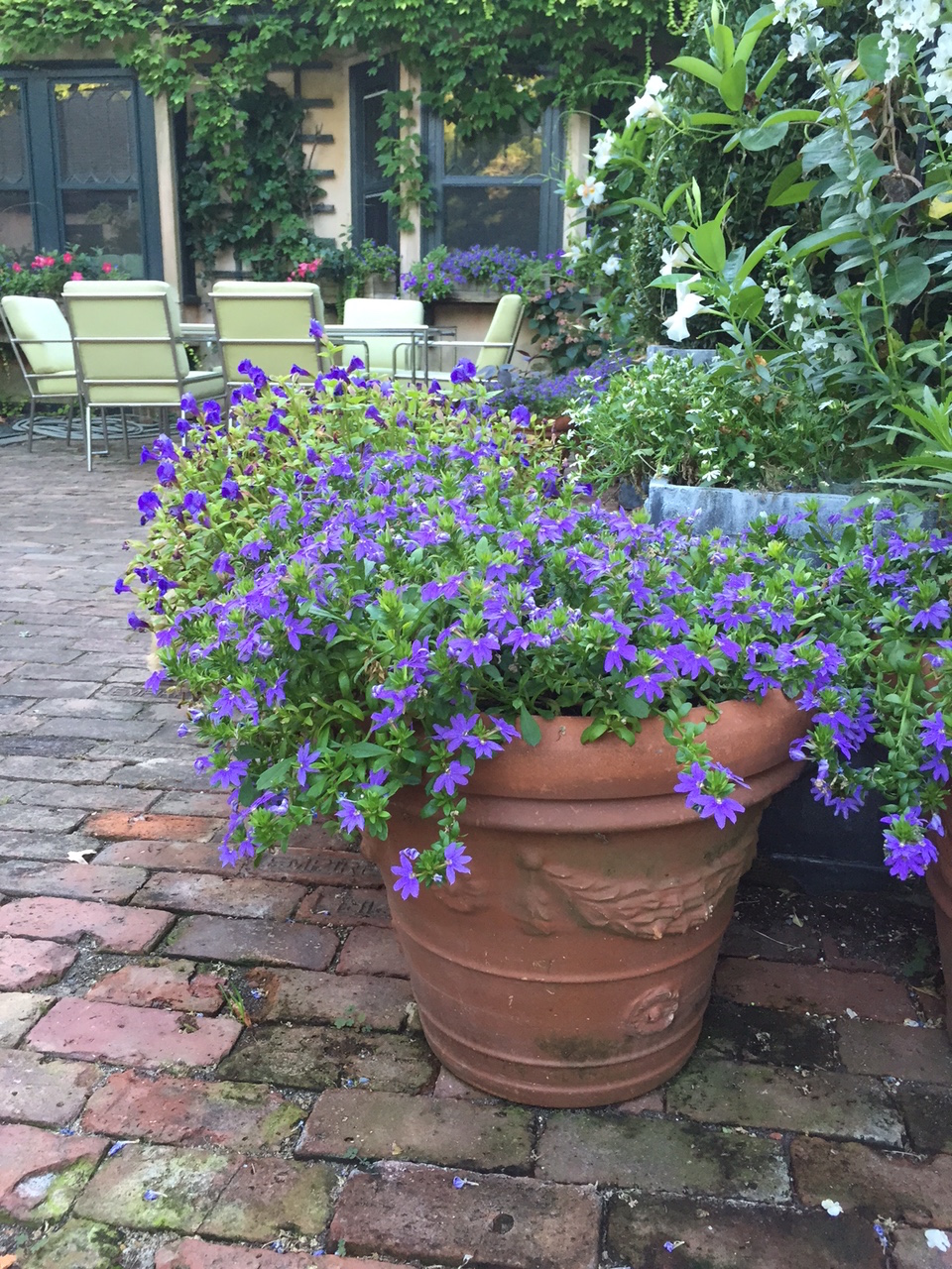 All corners of the property are considered, with blooming flowers and vines abound.Martha is a huge proponent of planting in pots: this terra cotta pot is planted with Torenia and Scaevola, two gorgeous purple annuals that are not too fussy, are pretty drought tolerant,and their flowers just so bright.